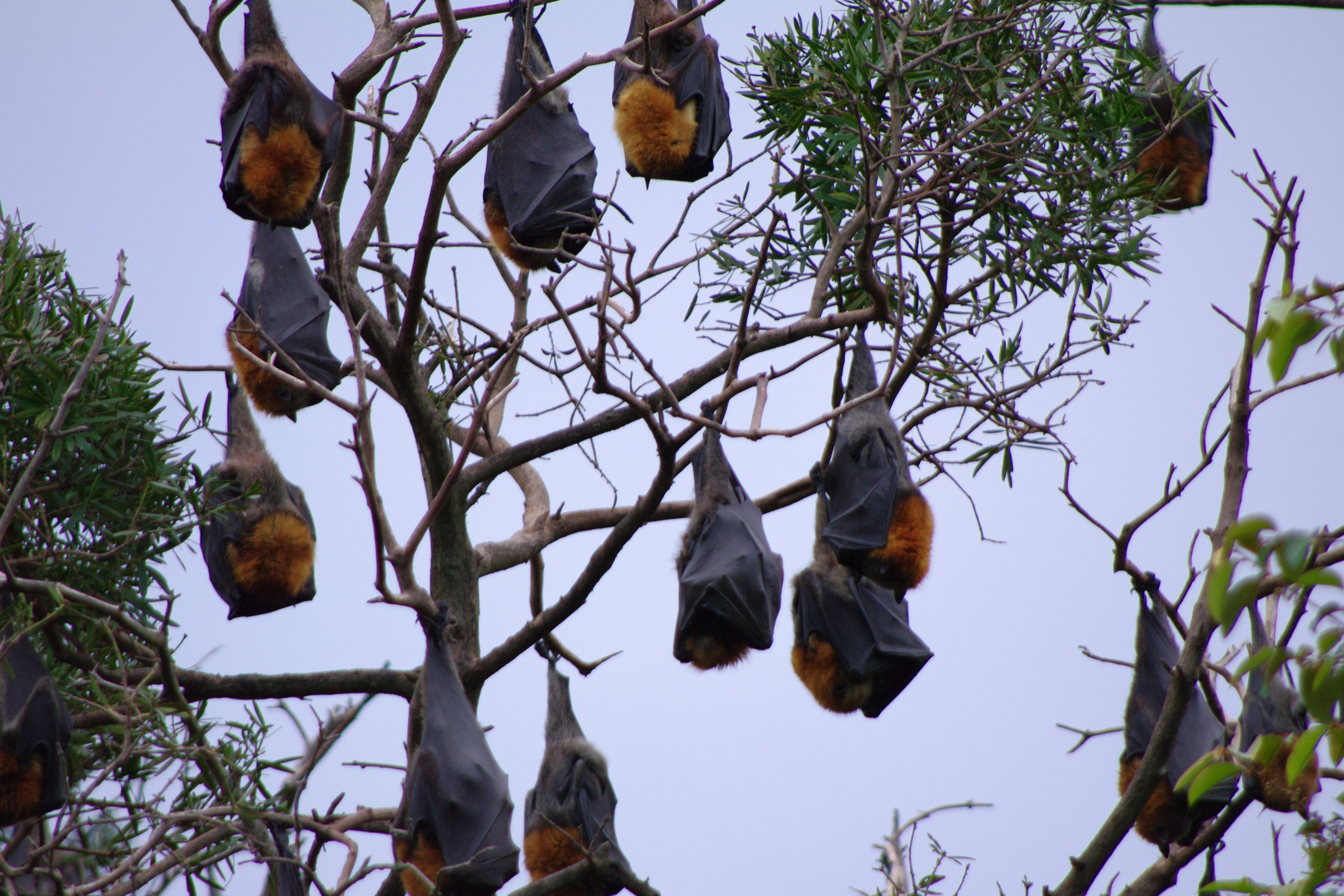 free stock photo 2219flying foxes freeimageslive
