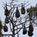 2220-roosting fruitbats