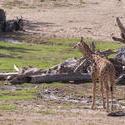 2224-giraffe