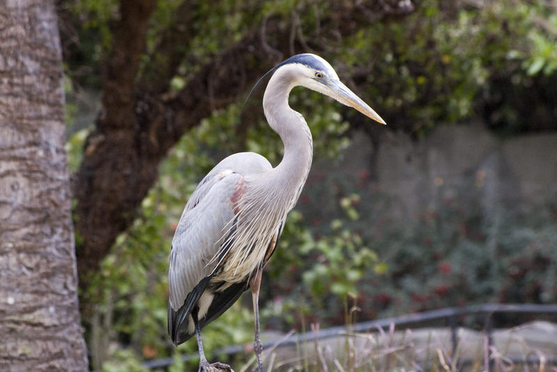 a great blue heron standing by the side of a pond