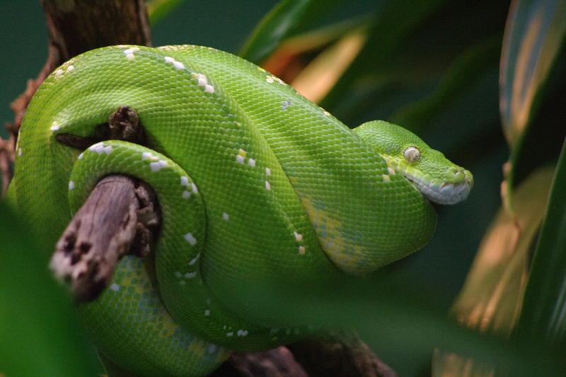 a green tree python coiled around a tree branch, Morelia viridis