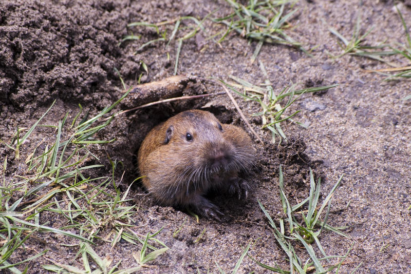 a groundhog emerging from a burrow