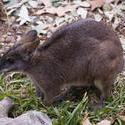 2231-kangaroo possum