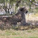 2233-leopard