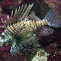 2235-lionfish