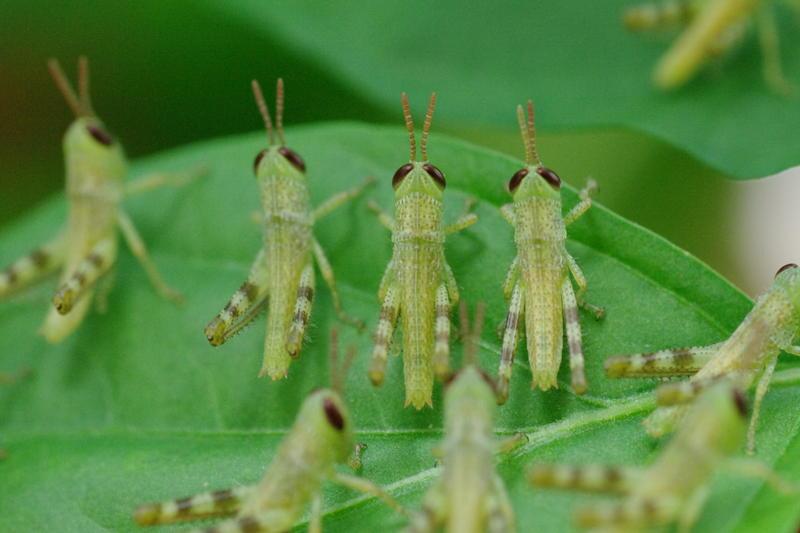2243-locust plague