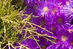2845-magenta flowers