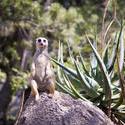 2246-meerkat lookout