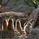 2249-meerkat collective