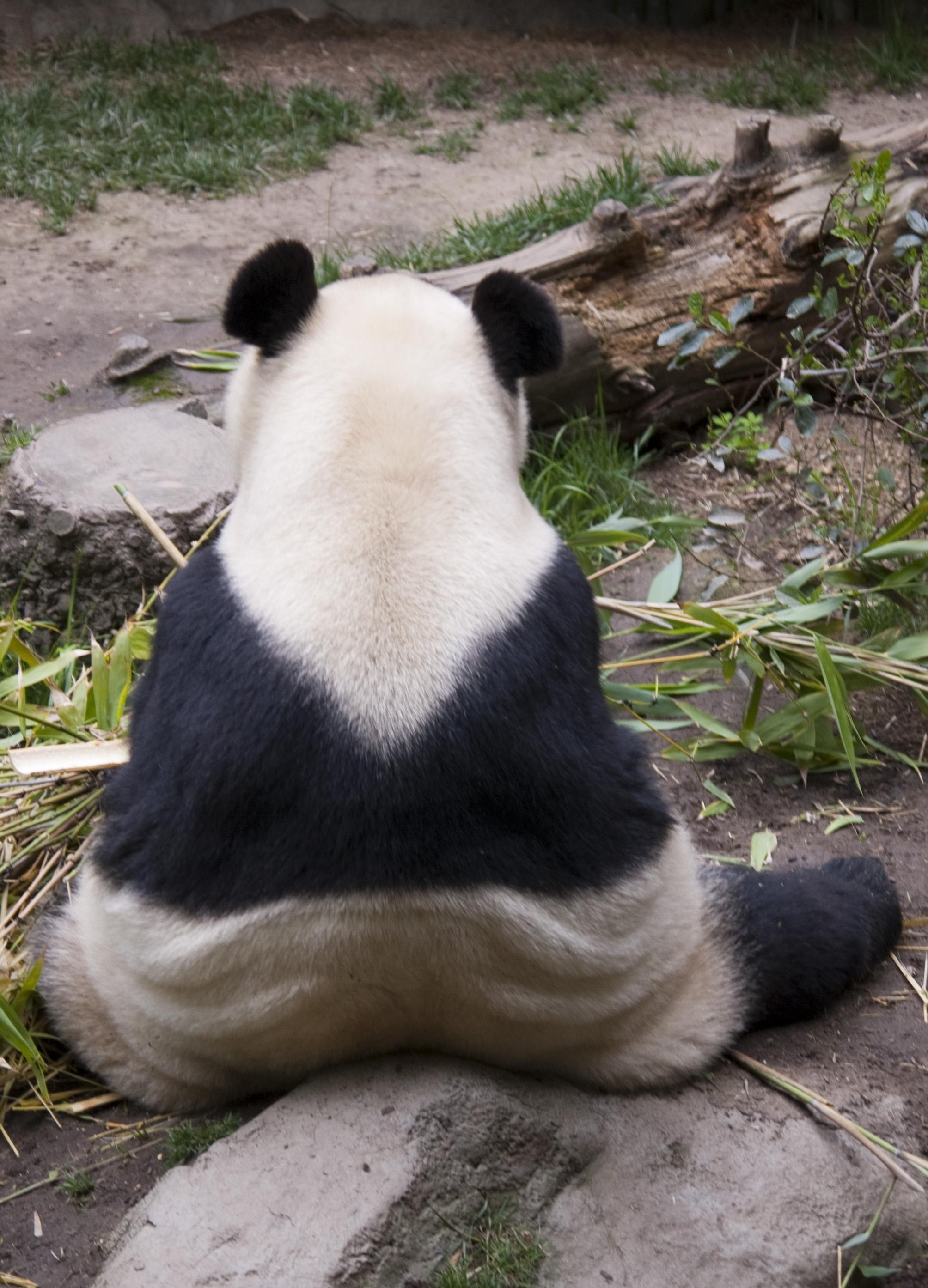 Free Stock Photo 2254 Panda Back Freeimageslive