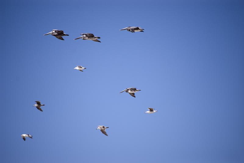 2518-pelicans in flight