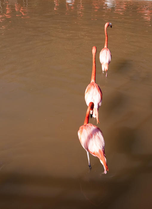 a line of three pink flamingos wading through the water