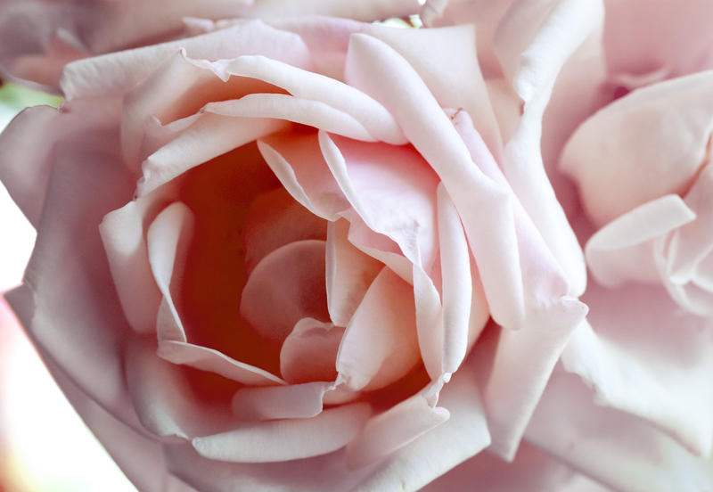 close up on a pink rose flower