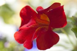 2847-red garden flower