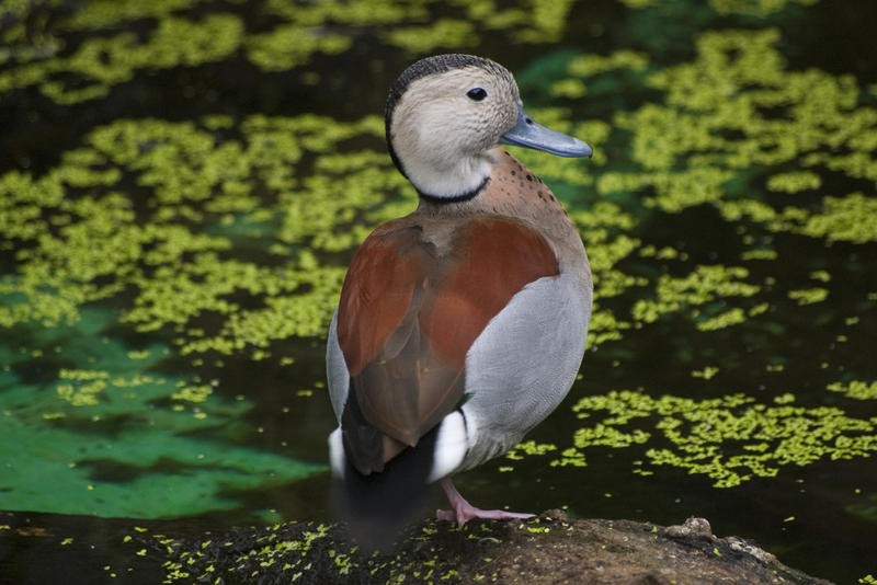 a male ringed teal duck (Callonetta leucophrys)