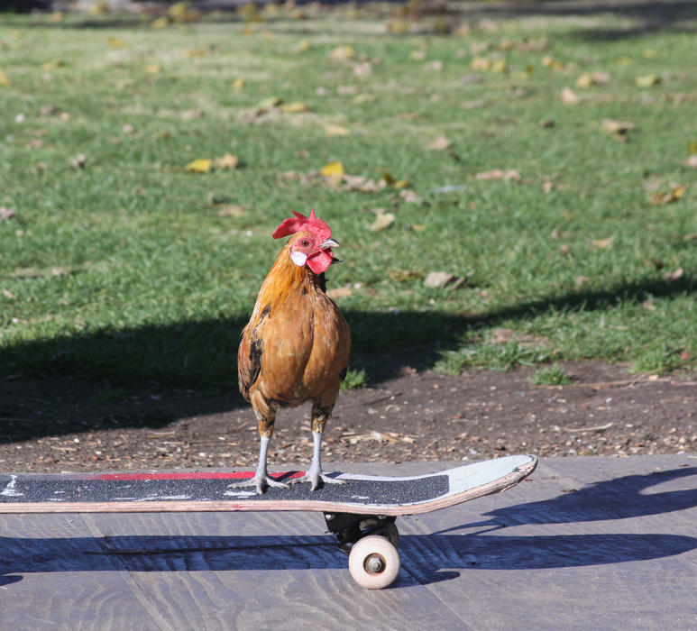 <p>Skateboarding chicken. A chicken that loves to skateboard.</p>