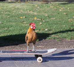 2411-skateboard-chicken.jpg