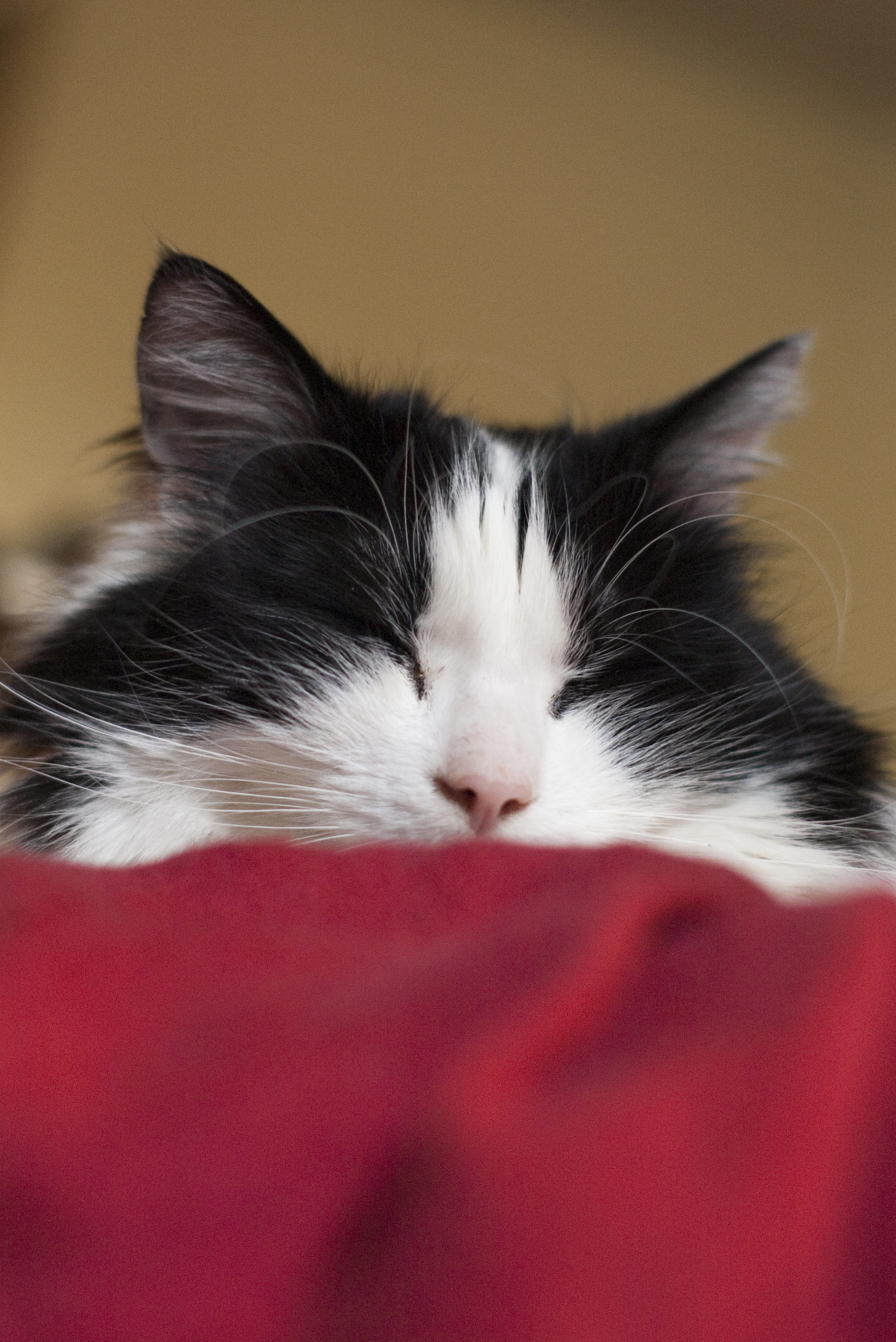 Free Stock Photo 2856 Tired Sleepy Cat Freeimageslive