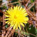 3784-Wild Dandelion