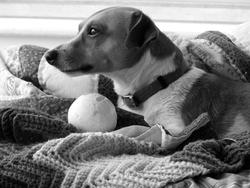 3732-Jack Russell