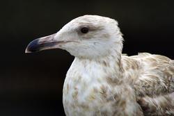 3664-Seagull Closeup 1