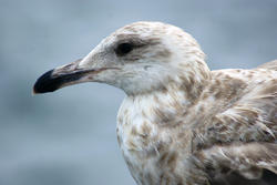 3665-Seagull Closeup II
