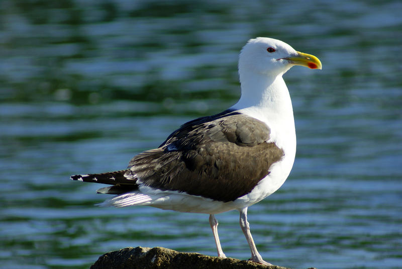 <p>Seagull On Rock II</p>Sony A-330 DSLR