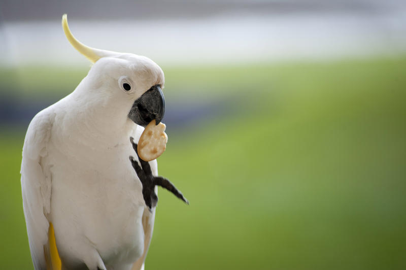 a sulphur crested cockatoo eating a cracker