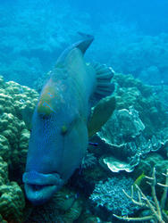 3339-wrasse and remora