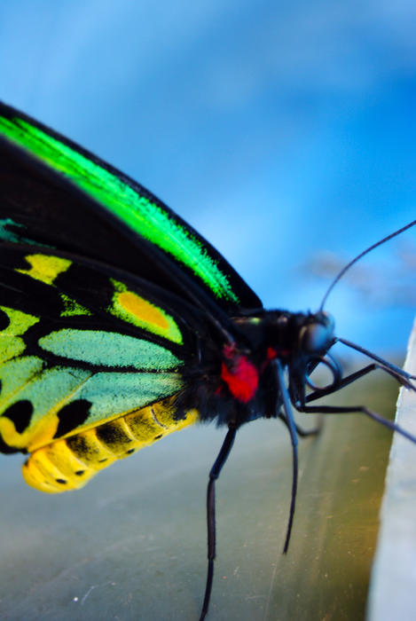 <p>Exotic Butterfly Closeup</p>Closeup of an exotic butterfly