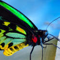 4288   Exotic Butterfly