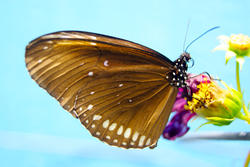 4293   Exotic Butterfly