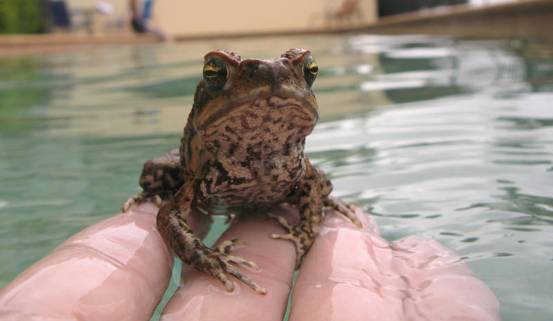 cane toad - Bufo marinus, native to central and south america, introduced to australia to control native cane beetles