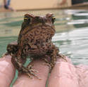 4147-cane toad bufo marinus