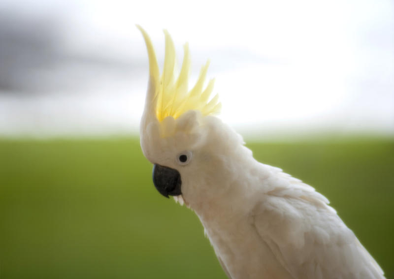a sulphur crested cockatoo displaying its yellow crest