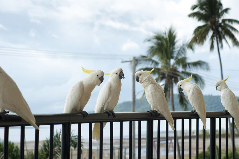 a line of sulphur crested cockatoos, sitting on a balcony handrail