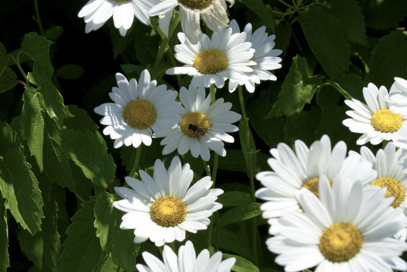 <p>Daisies with a visitor</p>SONY DSC