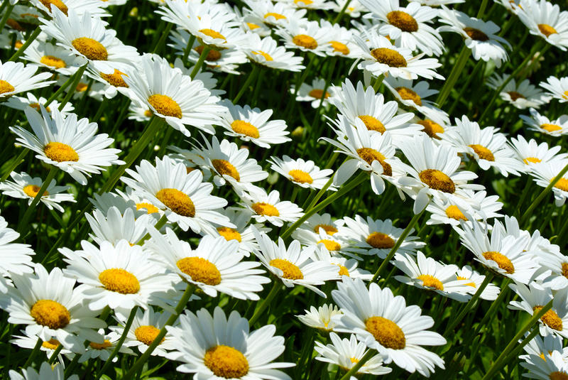 <p>Small Field Of Daisies</p>Closeup of a field of daisies