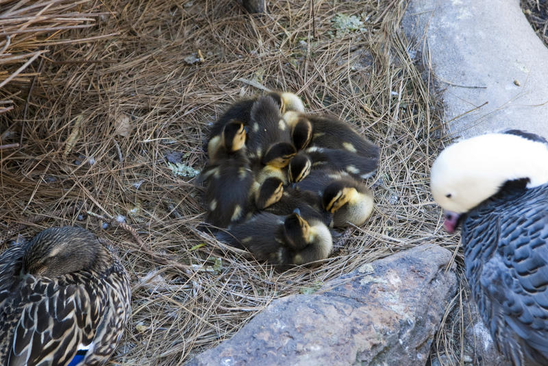 a nest of cute fluffy ducklings