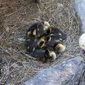 3244-ducklings
