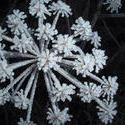 3455-frosted cow parsley