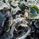 3457-frozen ivy background