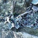 3469-frozen ivy