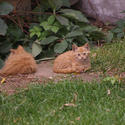3227-ginger kittens
