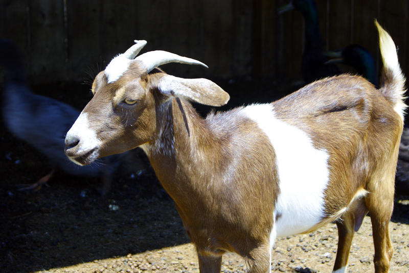 <p>Young goat on the farm</p>Small brown goat closeup