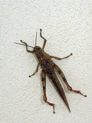 3374-grasshopper insect