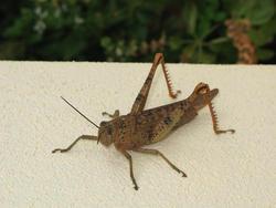 3377-grasshopper