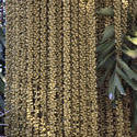 3291-palm fruit