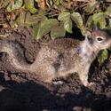 3231-small squirrel