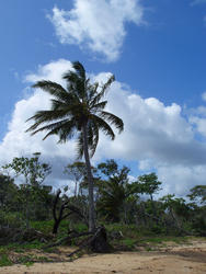 4093   coconut palm